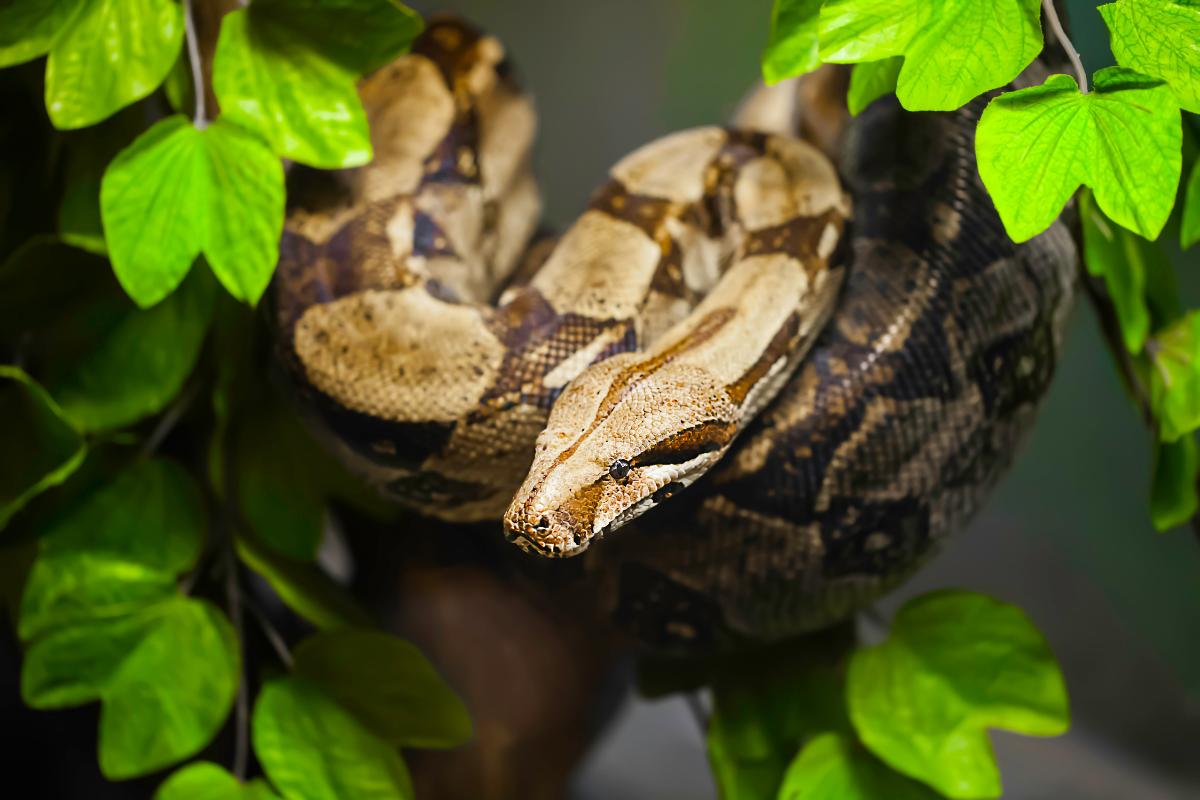 Boa constrictor imperator - common boa constrictor
